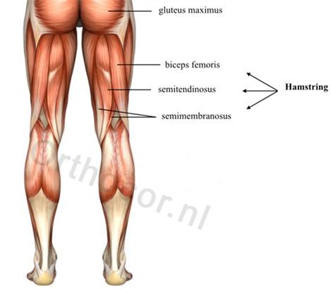 hamstring anatomie
